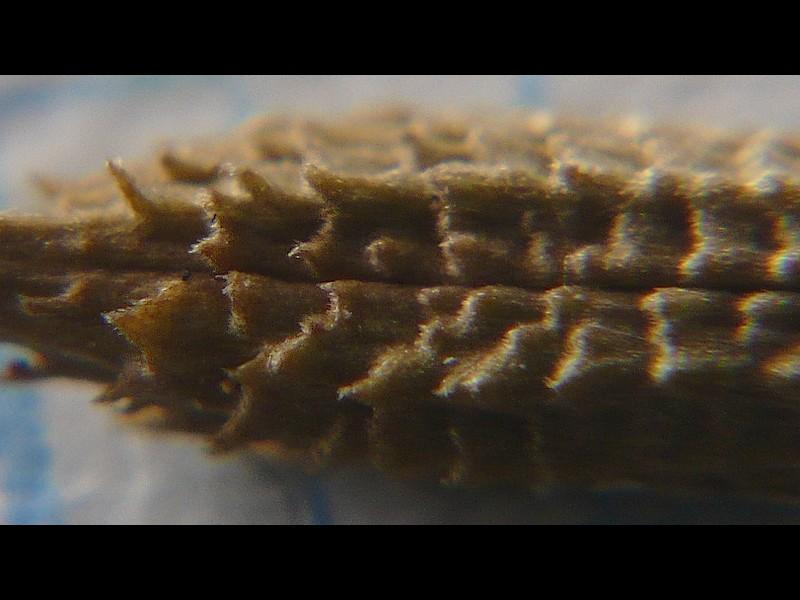 シロバナタンポポ 痩果の拡大