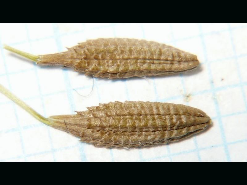 シロバナタンポポ 痩果