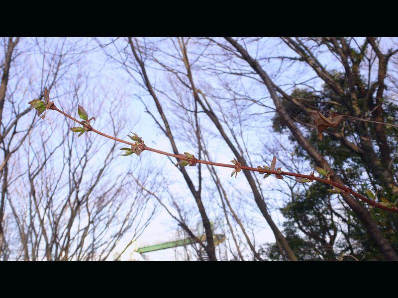 ウグイスカグラ 新しい枝