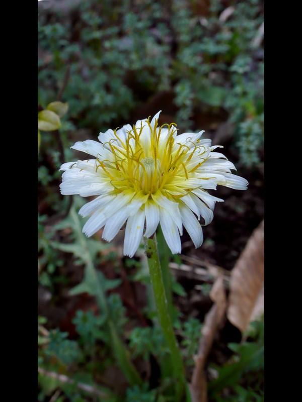シロバナタンポポ 花