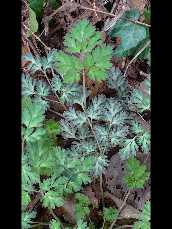 ムラサキケマン 幼生期の葉