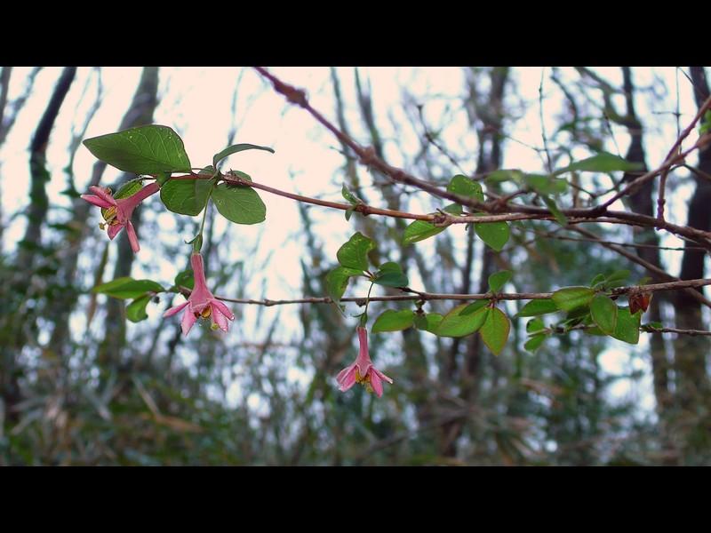 ウグイスカグラ 花序