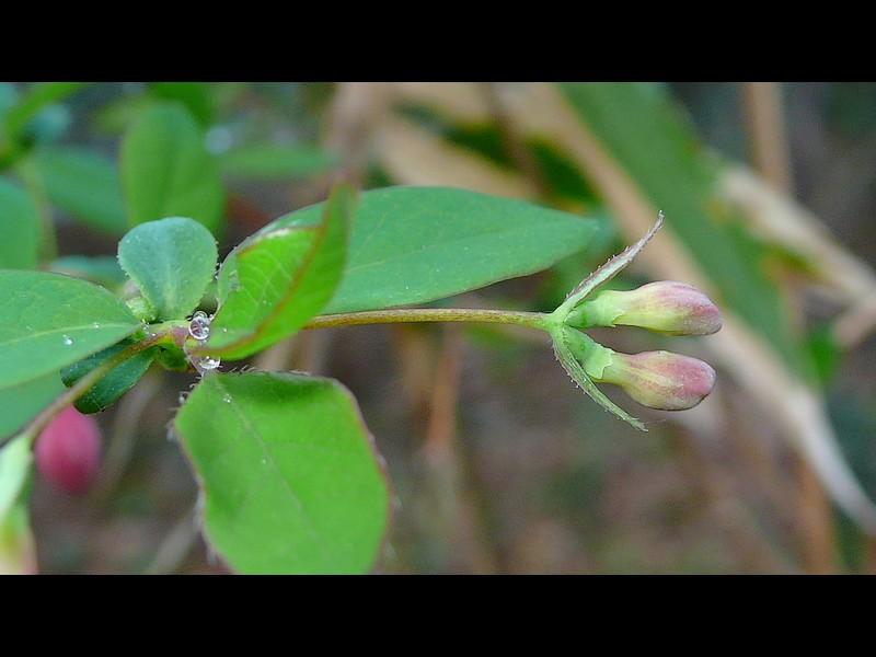 ウグイスカグラ 別々の花の蕾