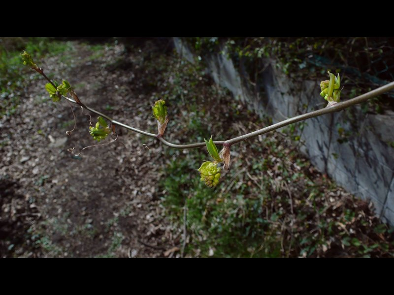 サルトリイバラ 若い花