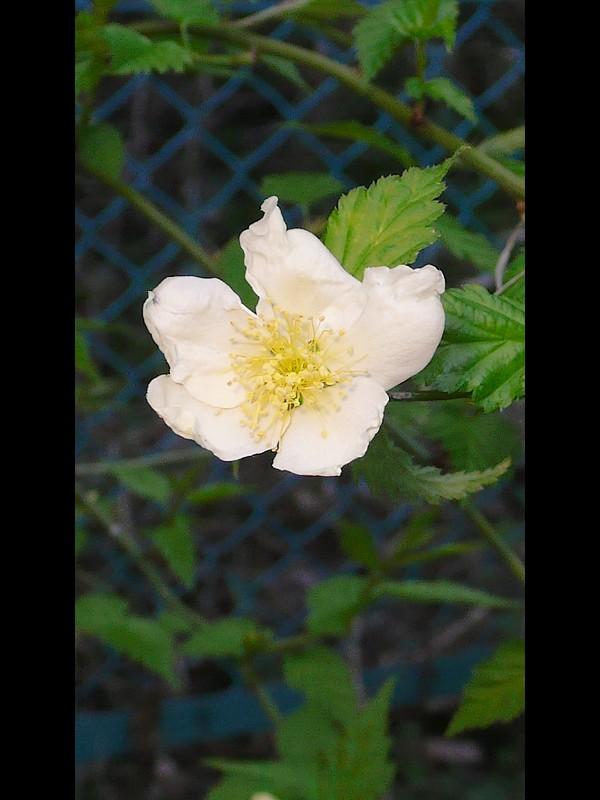 シロバナヤマブキ 花