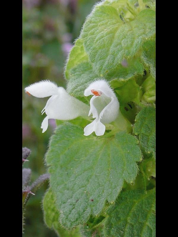 シロバナヒメオドリコソウ 花