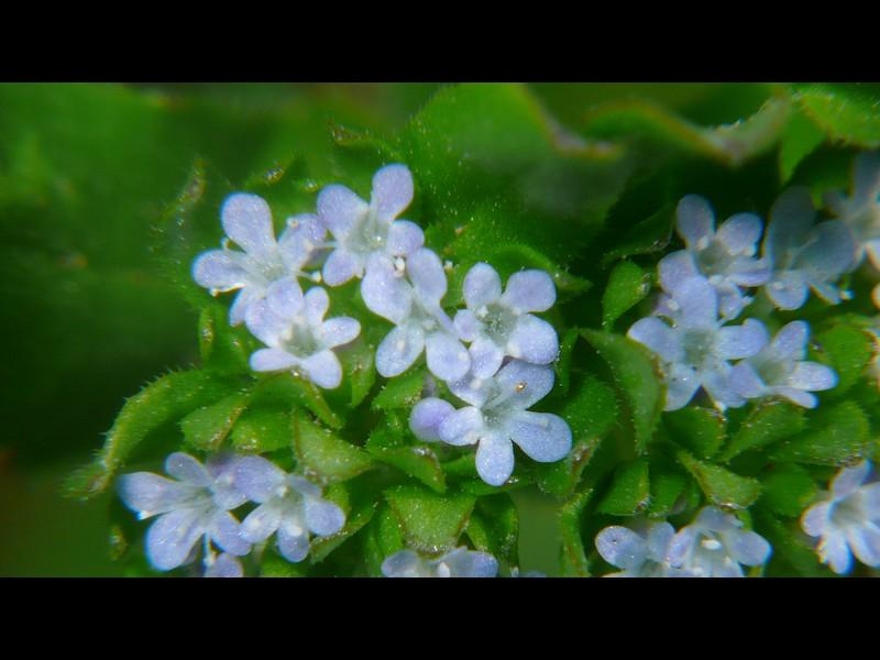 ノヂシャ 花