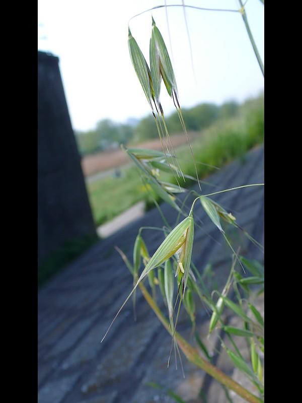 カラスムギ 小穂(花)