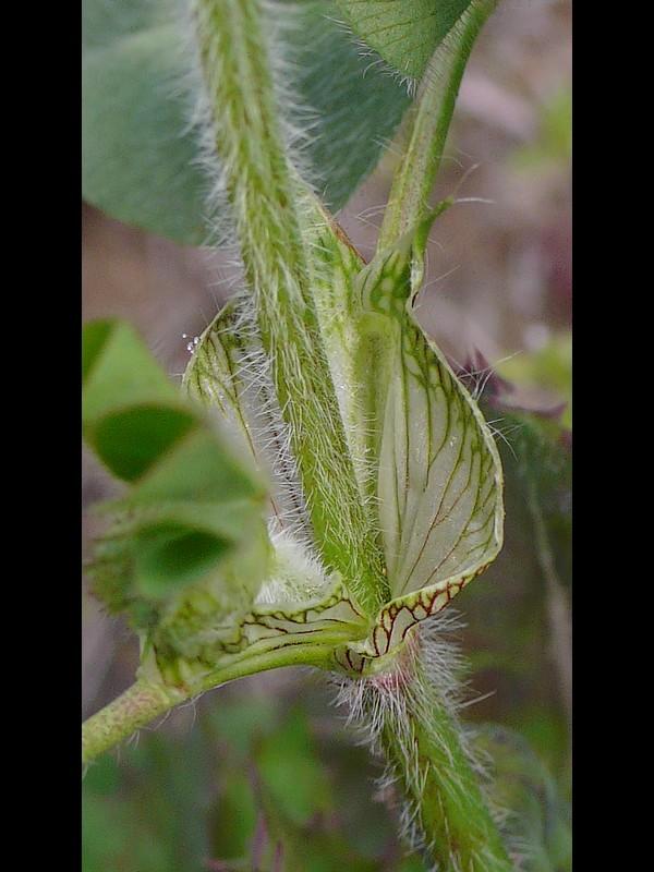 ムラサキツメクサ 総苞葉托葉