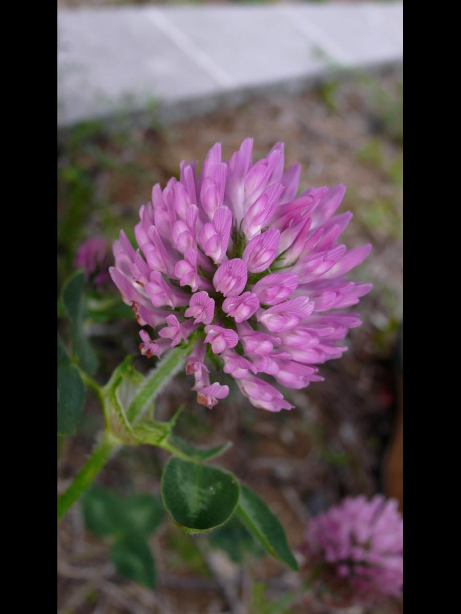 ムラサキツメクサ 花の拡大