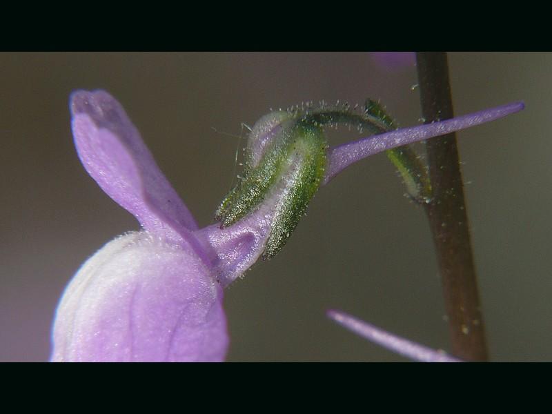 マツバウンラン 花の拡大
