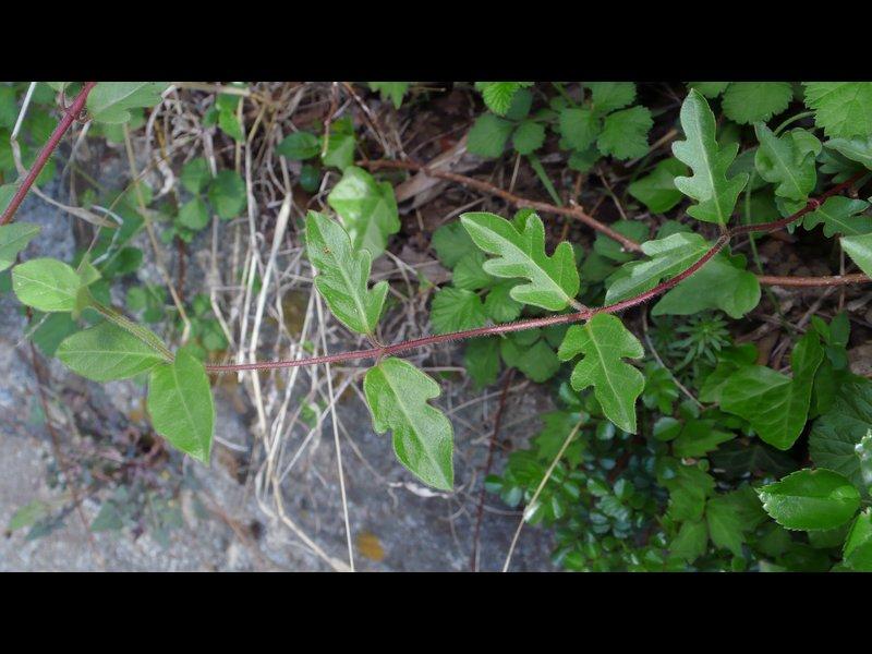 スイカズラ 羽状裂の葉