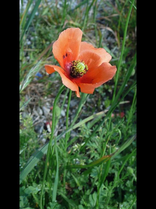 斑紋のあるナガミヒナゲシ 花