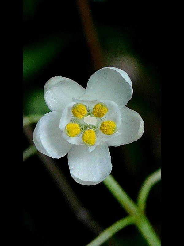 ミツバウツギ 花の拡大