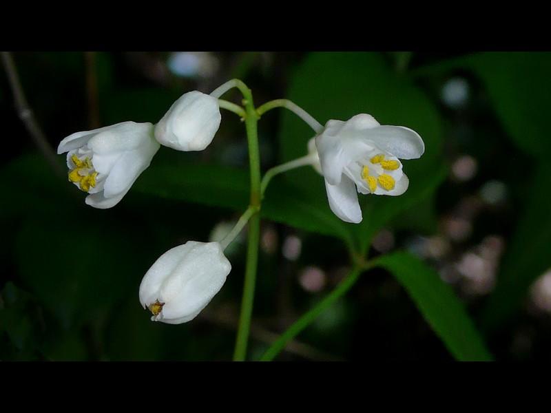 ミツバウツギ 花序
