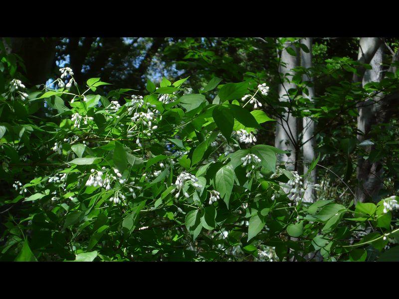 ミツバウツギ 枝