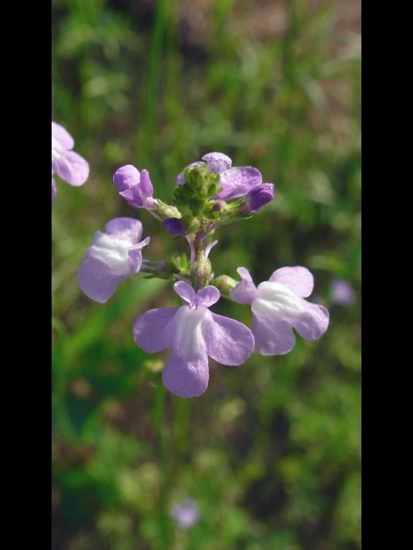 マツバウンラン 花