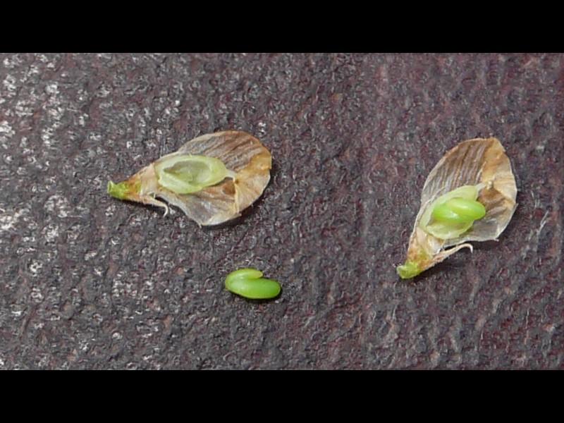 クスダマツメクサ 種子