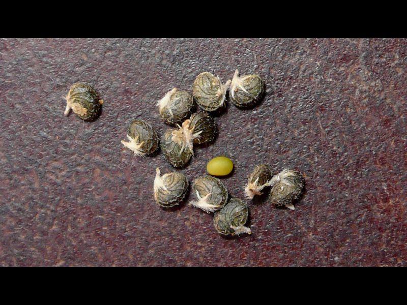 コメツブウマゴヤシ 果実と種子