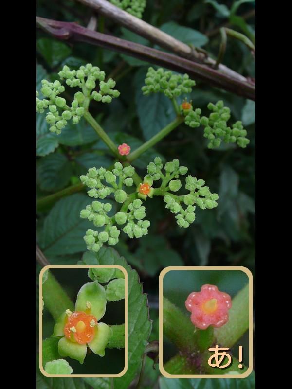 ヤブガラシ 花序・花