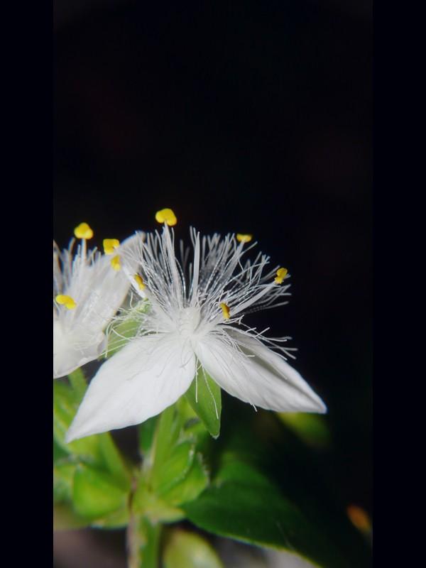 トキワツユクサ 花