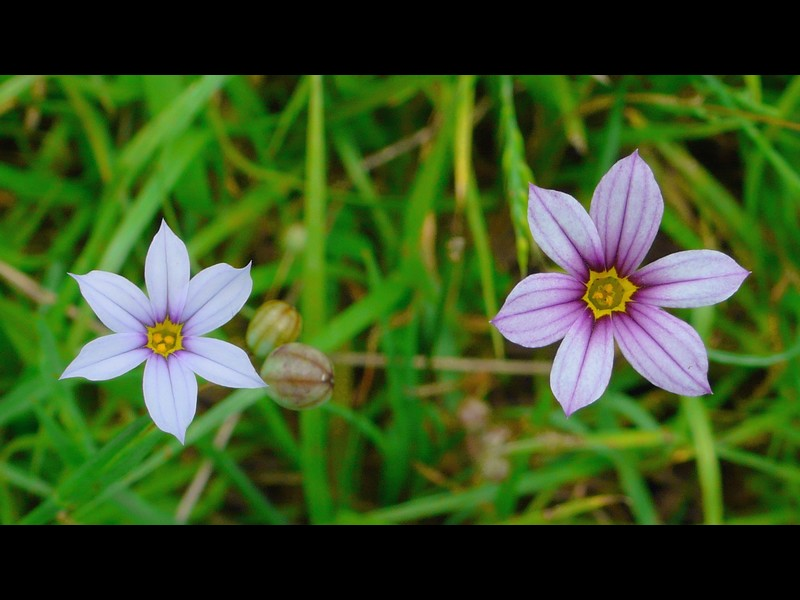 アキマルニワゼキショウ 同一群落内で並んだ花