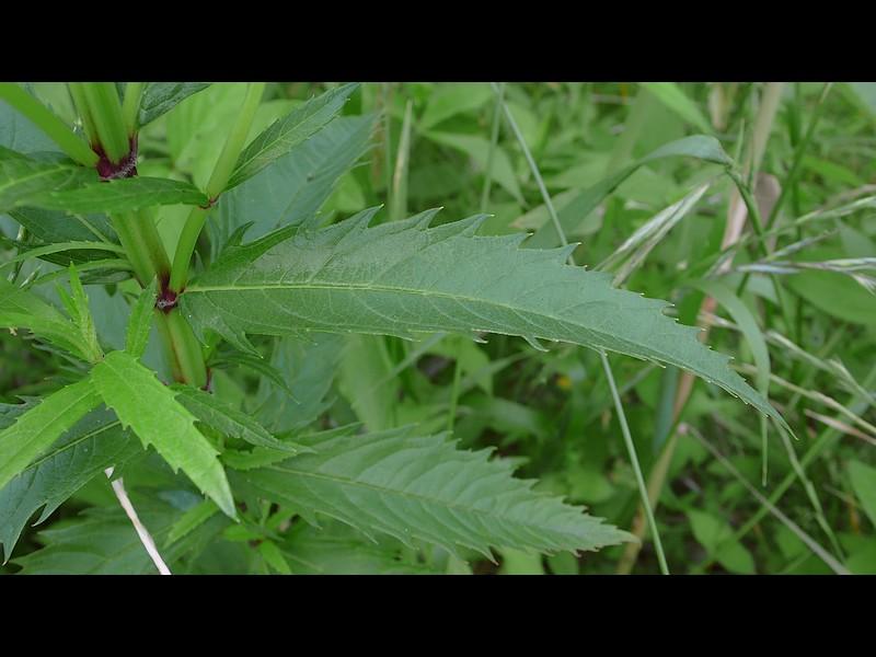 シロネ 葉