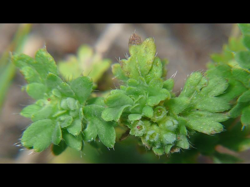 ノミノハゴロモグサ 花序