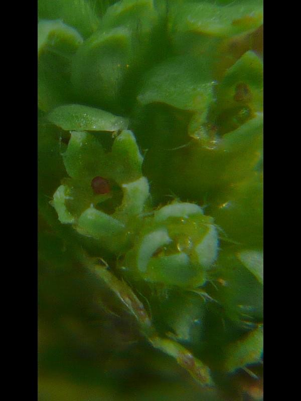ノミノハゴロモグサ 花