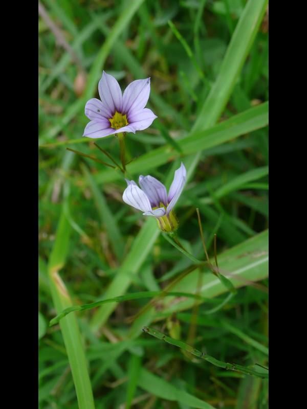 アキマルニワゼキショウ オオニワゼキショウ 青紫系の花