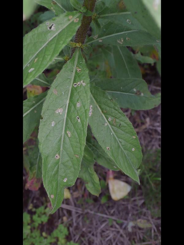 オオマツヨイグサ 葉