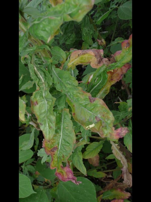 オオマツヨイグサ 枯れてきた葉