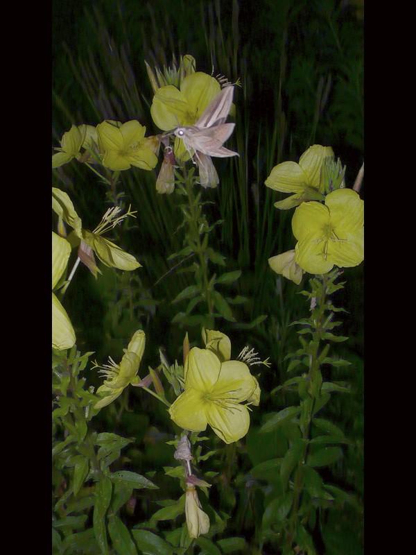 オオマツヨイグサ 花と虫