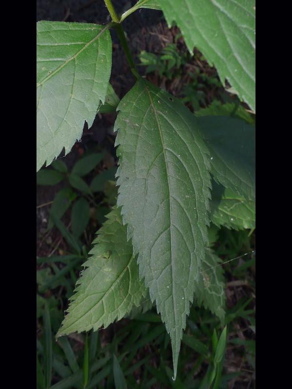 ヒヨドリバナ 葉