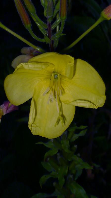 オオマツヨイグサ 開花の様子