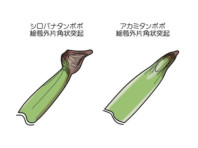 シロバナタンポポ アカミタンポポ 総苞外片比較