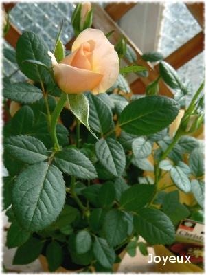 rose00