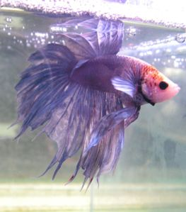 betta-fish.jpg