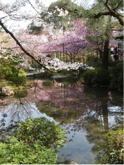 平安神宮桜2