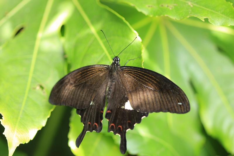 横須賀で見た蝶