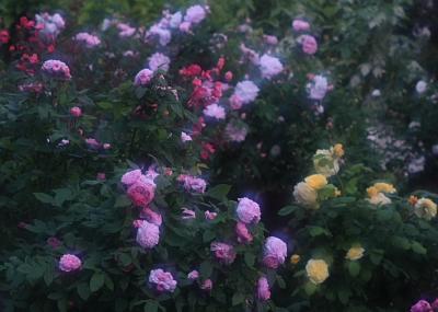 rose803