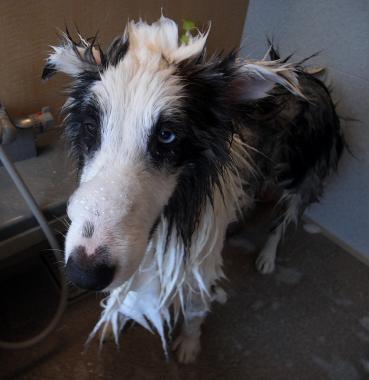 shampoo826