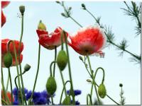 雛罌粟-1-