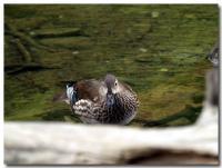 明神池の住人-3-