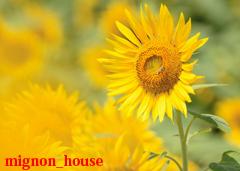 夏 - 太陽の里の向日葵
