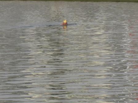 河で泳ぐおじさん