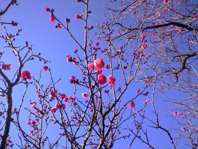これは1月末の梅
