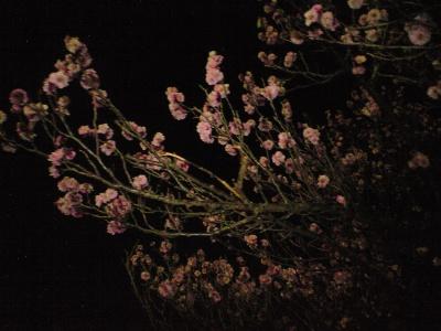 夜桜ならぬ夜梅
