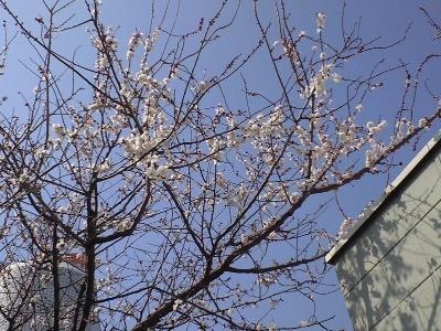 気がついたら我が家の梅も咲いていた