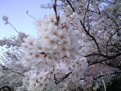 単なるピンボケの桜(爆)
